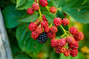 Raspberry and Blackberry Production